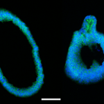 Amsbio Cultrex progenitor cells suit Crispr gene editing